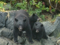 Mother and Cub Bears 5