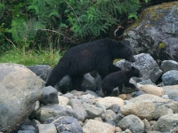 Mother and Cub Bears 3