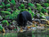 Black Bear Foraging 2