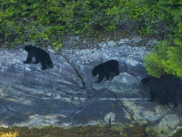 Mother and Cub Bears 6