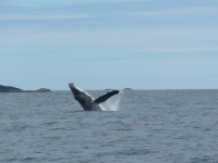 Humpback on Canada Day