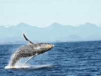 Photo of the Week: Breaching Humpback 1