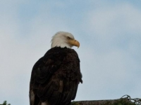 Photo of the Week: Bald Eagle