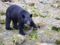 Photo of the Week: Black Bear Foraging for Crabs