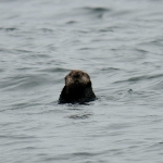 Photo of the week: Curious Sea Otter