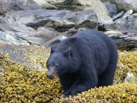 Photo of the Week: Male Black Bear