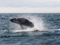 Photo of the Week: Breaching Humpback 2