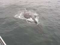 Photo of the Week: Gray Whale & WASCO
