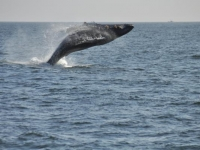 Photo of the Week: Humpback Breaching Close to WASCO