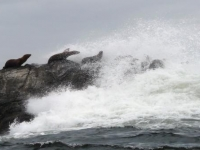 Photo of the Week: Sea Lions Braving the Waves