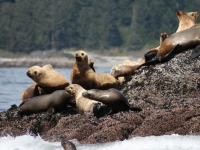 Photo of the Week: Stellar Sea Lions