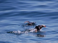 Photo of the Week: Tufted Puffins