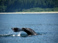Photo of the Week: Gray Whale's Tail