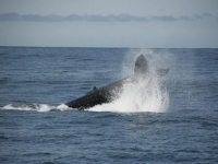 Photo of the Week: Humpback Whale Tail Slapping