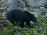 Black Bear Foraging 4