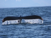 Humpback Whale Tail 2.0