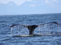 Humpback Whale Tail 2.1