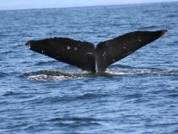 Humpback Whale Tail 2.2