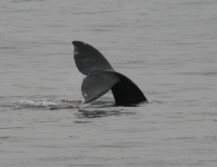 Gray Whale Tail 3