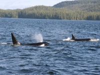 Transient Orca Pod