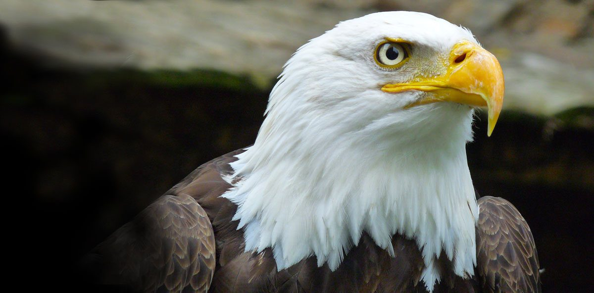 Tofino Wildlife — Bald Eagle