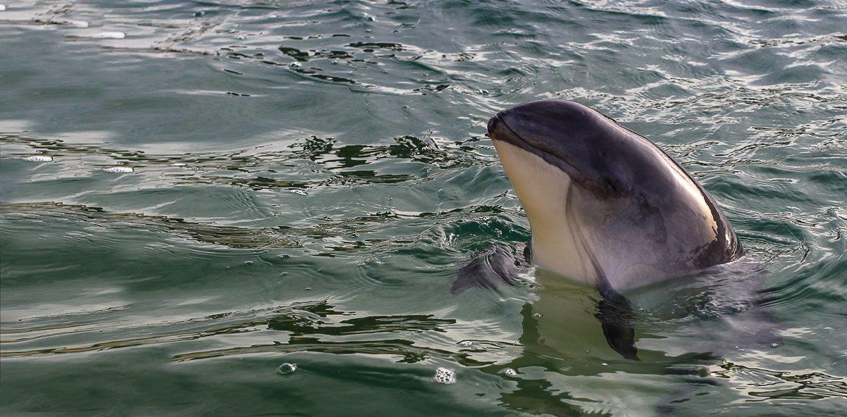 Tofino Wildlife — Harbour Porpoise