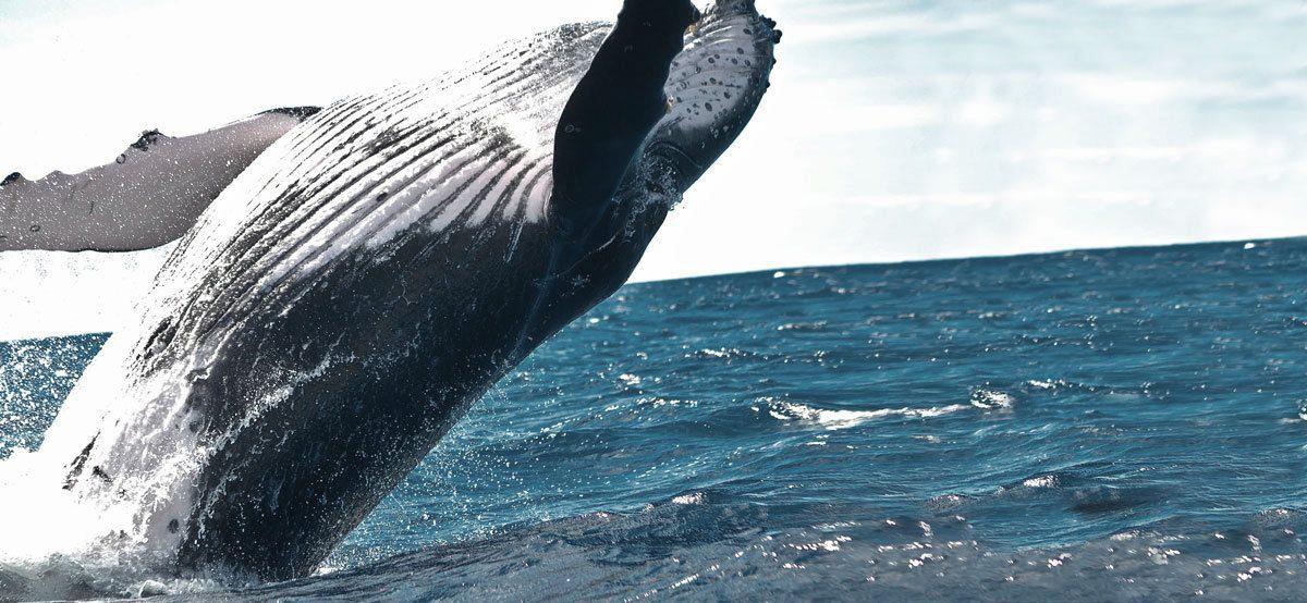 Tofino Wildlife — Humpback whale