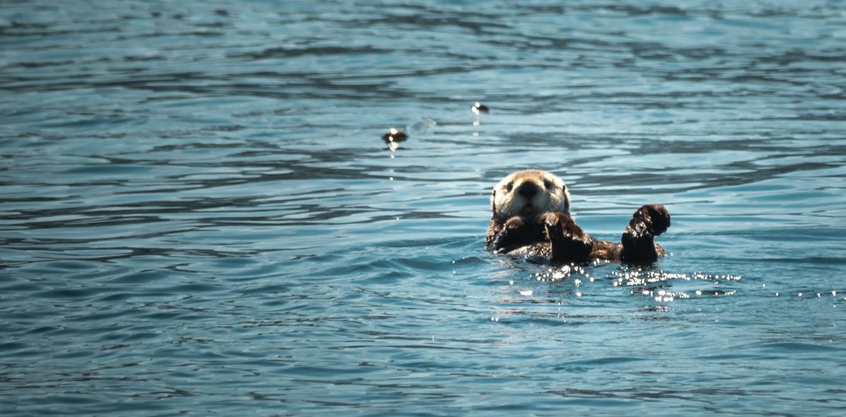 Tofino Wildlife — Sea Otter